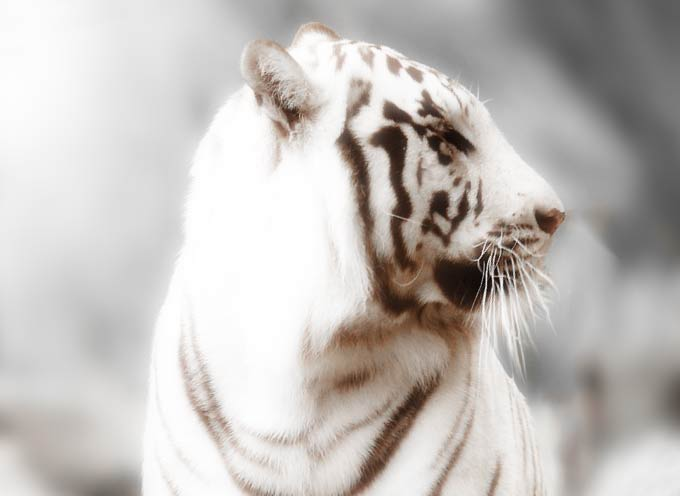 Oráculo tigre